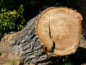 Náhradní výsadba za skácené stromy